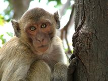 Monkey in Thailand. Monkey Look Stock Photography