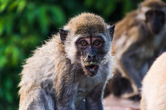 Monkey. Thailand Stock Images