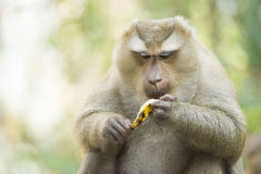 A monkey in Thailand eating a banana Stock Images