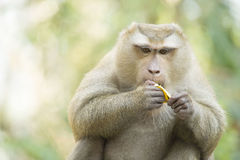 A monkey in Thailand eating a banana Royalty Free Stock Photo