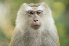 A monkey in Thailand Royalty Free Stock Photo