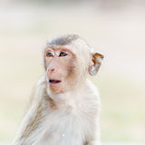 Monkey in thailand. Expressive monkey close-up, high key in thailand Royalty Free Stock Image