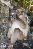 Monkey, Thailand. Free monkey on thailand beach Royalty Free Stock Photography