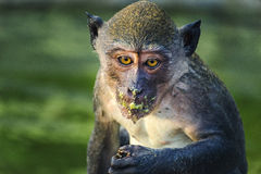 Monkey thailand. Light sit forest songkhla wildlife mammal ape primate wild fur animal noperson cute zoo portrait outdoor jungle hairy look looking macague Stock Photography