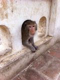 Monkey in Thailand. Monkey misbehaving Mahmoud Stock Photos