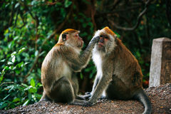 Monkey thailand. Natural trees animal play forest Stock Images