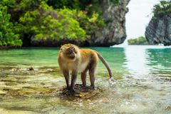 Monkey in Thailand. Phi Phi region. Monkey in Thailand. Region of Krabi and Phi Phi Island stock photo