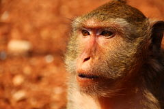 Monkey in Thailand stock photos