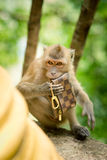 Monkey theft Royalty Free Stock Image