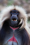 Monkey - theropithecus. Monkey Gelada, cercopithecidae family, the only representative of the type of Theropithecus. It occurs in the mountains of Ethiopia and Stock Images