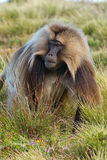 Monkey - theropithecus. Monkey Gelada, cercopithecidae family, the only representative of the type of Theropithecus. It occurs in the mountains of Ethiopia and Royalty Free Stock Image