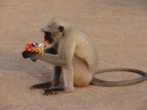Monkey thief Stock Photography