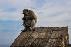 Monkey thief in Uluwatu temple in Bali, Indonesia Royalty Free Stock Image