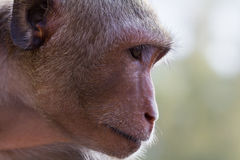 Monkey thinking Royalty Free Stock Photos