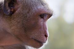 Monkey thinking. Monkey while thinking with rim light Royalty Free Stock Photos