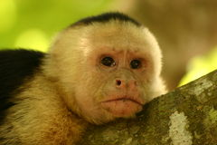 Monkey thinking. Pensive monkey in the tropics Royalty Free Stock Photography