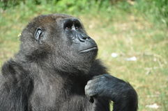 Monkey is thinking Stock Photos