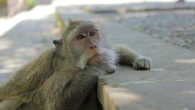 Monkey thinking in uluwatu temple, bali stock video