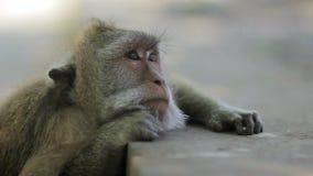 Monkey thinking in uluwatu temple, bali stock video footage