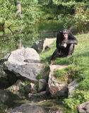 Monkey Thoughts. Chimpanzee contemplating deeply about life Stock Images