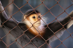 Monkey in thoughts Stock Images