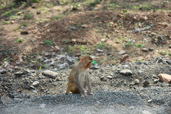 Monkey in thoughts. Shot from within my car in ratapani forrests, bhopal, Madhya pradesh, India royalty free stock photo