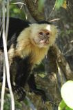 Monkey Time. White-headed Capuchin monkey photographed in Costa Rica royalty free stock images