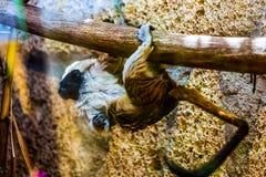 Monkey titi cotton-top tamarin Royalty Free Stock Image