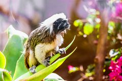 Monkey titi cotton-top tamarin Royalty Free Stock Photos