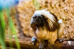 Monkey titi cotton-top tamarin Stock Photography