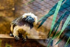 Monkey titi cotton-top tamarin Stock Image