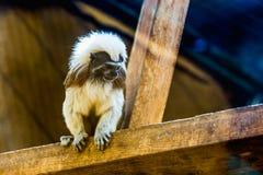 Monkey titi cotton-top tamarin Stock Photos