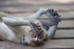 Monkey Tongue Stock Photography