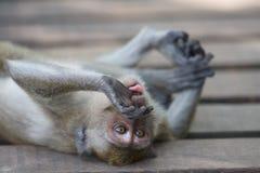 Monkey Tongue Stock Photography