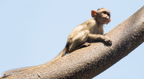 Monkey  on top of a tree  Royalty Free Stock Image