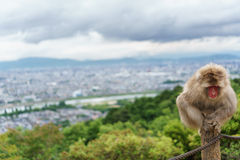 Monkey on top of trunk in Arashiyama, kyoto Royalty Free Stock Photo