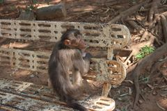 Monkey Trap on Outdoor Bench Royalty Free Stock Photos