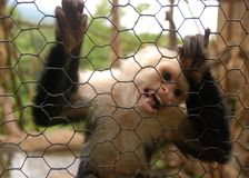 Monkey Trapped Royalty Free Stock Photo