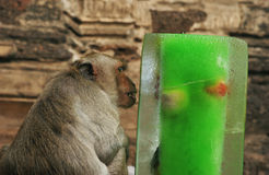 Monkey treat Stock Photography