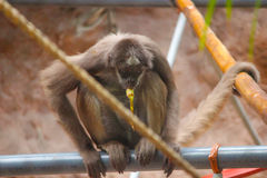 Monkey Treats. A Monkey enjoys a treat while sitting on the fence and wrapping its tail around a long pole Royalty Free Stock Images