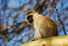 Monkey in a Tree Stock Photography