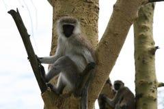 Monkey on the tree Stock Image