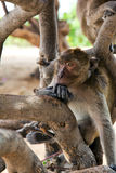 Monkey in tree Royalty Free Stock Photo