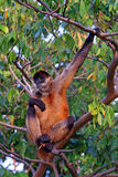 Monkey in Tree Stock Photo