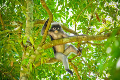Monkey on the tree Royalty Free Stock Photo