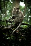 Monkey in a tree Royalty Free Stock Photo
