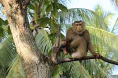 Monkey on tree Royalty Free Stock Photography