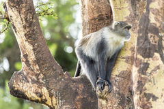Monkey on a tree Royalty Free Stock Images