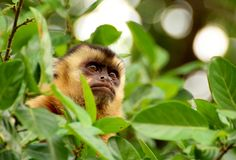 Monkey in tree Royalty Free Stock Photography