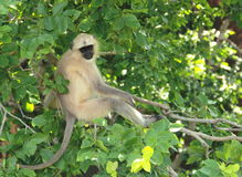 Monkey In A Tree. Royalty Free Stock Image